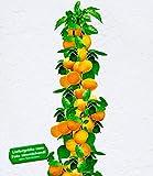 BALDUR-Garten Säulen-Aprikosen, Aprikosenbaum 1 Pflanze, Prunus armeniaca winterhart Obstbaum Säulenobst