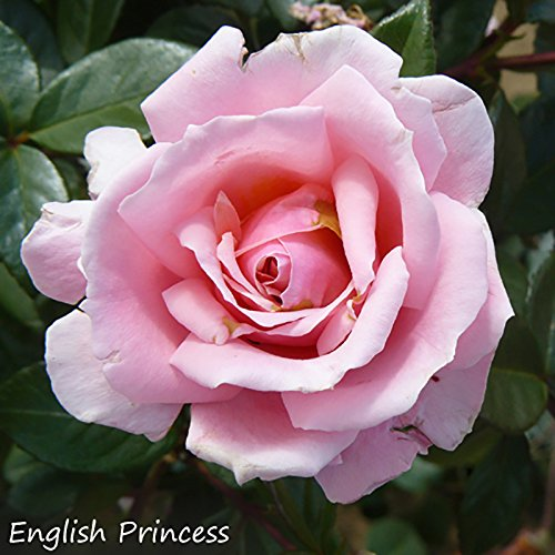 premium-english-garden-potted-rose-collection-bushes-pack-of-4