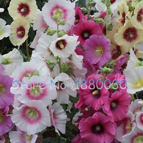 Rare graines de roses trémières japonais 100% vraies graines de 15 couleurs différentes de fleurs en pot bonsaï bricolage maison jardin 50PCS Althaea rosea