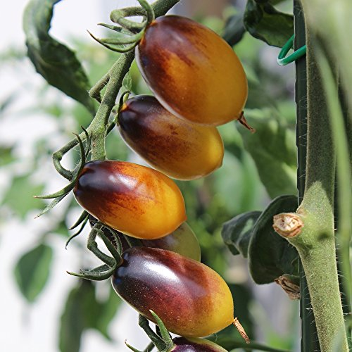 10-samen-indigo-kumquat-tomate-guter-ertrag-tropisch-fruchtiger-geschmack