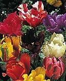 50 Gemischte Papageien Tulpenzwiebeln Blumenzwiebeln Tulpen