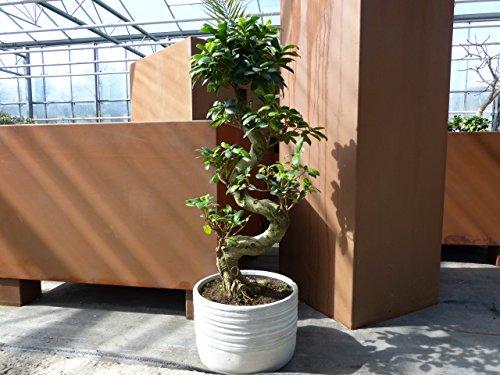 im Tontopf: Bonsai Ficus Ginseng 70-80 cm, Zimmer-, Büropflanze, pflegeleicht