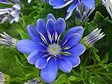 Go Garden 100 Einheiten/bag Bonsai Pelargonieblume Bonsais ausdauernde Geranie Schild Blatt Töpfe für Hausgarten: Gelb