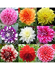 Creative Farmer Flower Seeds : Dahlia-Pompon Mia Mix Flower Seeds For Gardening - Garden Flower Seeds Pack