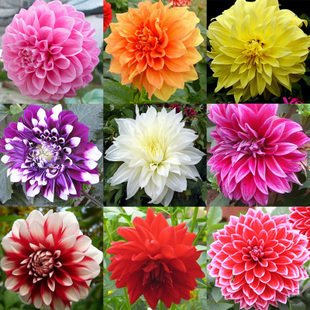 Creative Farmer Flower Seeds : Dahlia-Pompon Mia Mix Flower Seeds For Gardening - Garden Flower Seeds Pack