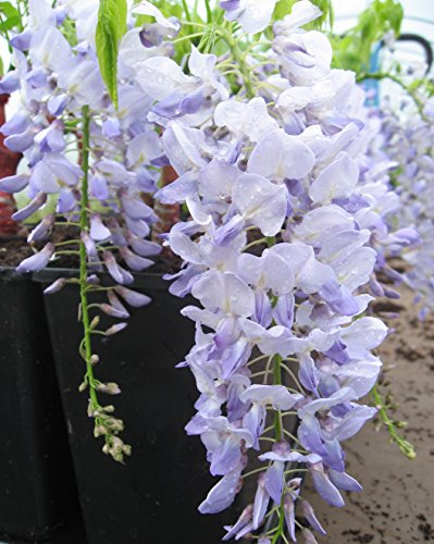 Blauregen-Wisteria-Glyzine floribunda 'Blue Dream' 80/100 cm (Dreams Co-robe)