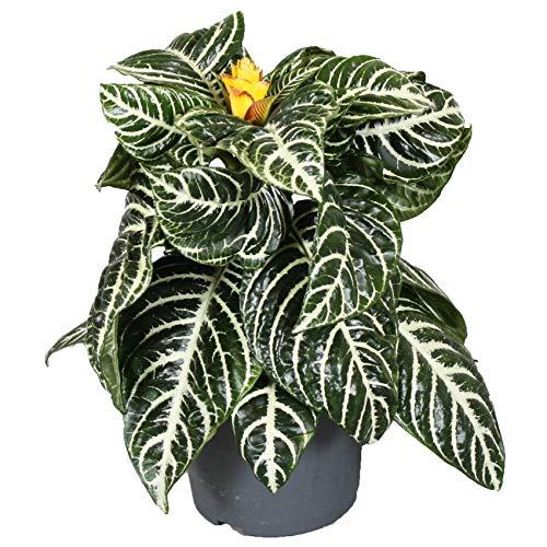 FloraStore - Aphelandra Squarrosa - Zebra Blumentopf 13 cm (Solar) (1x), Zimmerpflanze