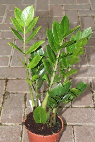 zimmerpflanze-fur-wohnraum-oder-buro-zamioculcas-zamiifolia-30-cm-hoch-auch-als-glucksfeder-bezeichn