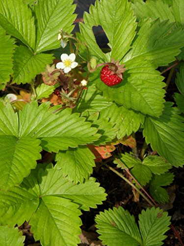 Fragaria vesca - Wald-Erdbeere, 50 Pflanzen im 5/6 cm Topf