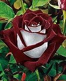 PLAT FIRM Germination Les graines: 20 vin Graines/Bourgogne Roses Osirias Fleurs jardinage Rare semences Plante vivace