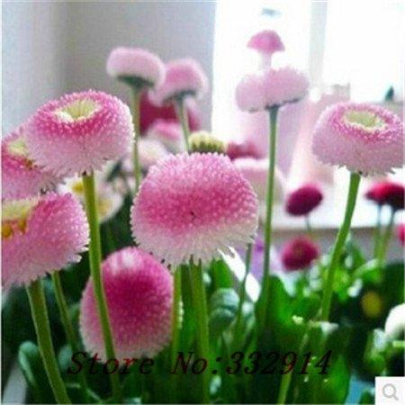 100 graines English Daisy - Bellis perennis graines de fleurs Grande pour le début de la couleur de printemps a besoin de bons Drainage
