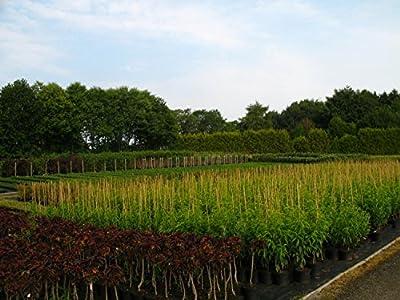 Rhabarber Staude Canada Red sauer-aromatisch 0-30 cm rotes Gemüse Gartenpflanze 1 Pflanze von Redwood Service GmbH - Du und dein Garten