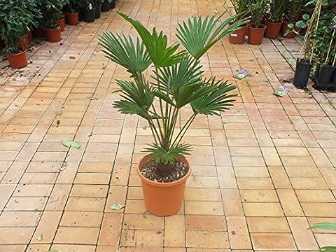 Blumen Senf Trachycarpus Wagnerianus - Hanfpalme - Wagner Hanfpalme (100 cm / 20-25 cm Stamm) (Dunkle Banana)