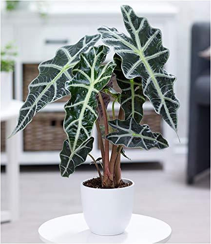 BALDUR-Garten Alocasia Polly, 1 Pflanze Pfeilblatt Zimmerpflanze
