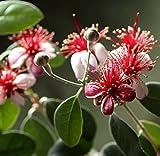 Acca Sellowiana - Brasilianische Guave - Feijoa - Ananas Guave - verschiedene Größen (130-150cm - Topf Ø42cm)