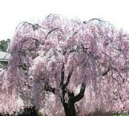 GEOPONICS Silver: 10 Weeping Cherry Cuttings! Grow your own and Save $$$ Free Shipping