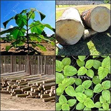 vegherb Paulownia Elongata New Forest Baumsamen, 100 Samen/Packung schnell wachsenden Baum Paulownia Samen Gehölz Für Hausgarten