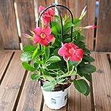 100pcs / sac Mandevilla Dipladenia Bonsai Graines plantes d'intérieur plantes ornementales pour la cour de jardin à domicile Livraison gratuite 1