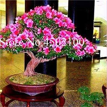 CUSHY 100 Stück exotischen japanischen AZEA Bonsai, Misch Rhododendron AZEA, AZEA Bonsai Samen DIY Seedssseed für Hausgarten: 11