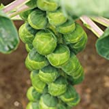 Brussels Sprout - Crispus - 20 Seeds