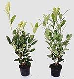 30 Pflanzen, Höhe: 40-50 cm ab Topf, Prunus laur. 'Caucasica', Kirschlorbeer