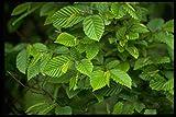 750021 Hornbeam (carpinus Betulus) A4 Photo Poster Print 10x8