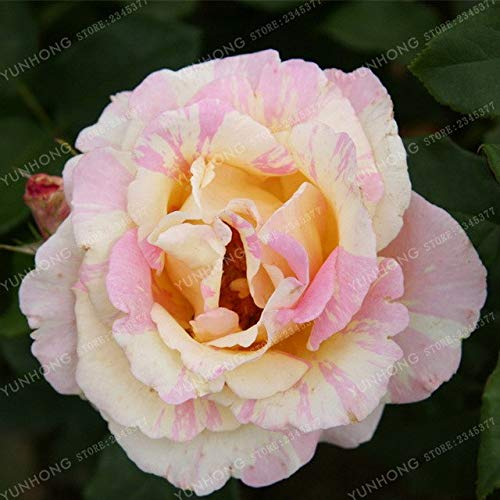Bloom Green Co. 50 pcs/bag Rare Rose bonsai Rainbow rose flower plant Bonsai Flower Bonsai 24 Colours Natural Growth Pot Plant for Home Garden: Light Grey