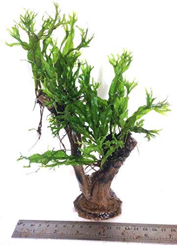 Dennerle Java Fern Microsorum Pteropus (Windelov) Jungle Tree Live Plant 2