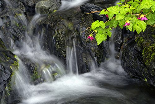 Price comparison product image Marion Owen / Design Pics – A sprig of Salmonberry flowers and leaves drape over waterfall Kodiak Alaska Photo Print (96.52 x 60.96 cm)