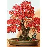 Tropica Bonsai arce rojo (Acer rubrum) - 20 semillas