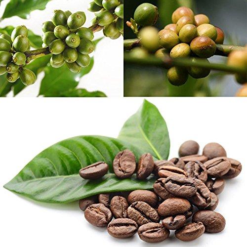 Azalea Gardens Indoor Dwarf Kona Coffee Bean Seeds -10 Pieces