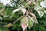 Weißbunter Eschenahorn Acer negundo Flamingo Containerware 200-300 cm hoch, Stammhöhe 220 cm , Stammumfang 8-10 cm