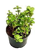 #6: Plant House Live Crassula Ovata Lucky Ornamental Plant with POT