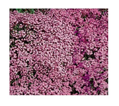 180x Seifenkraut Rose-Pink-Saponaria Samen Pflanze Garten Saatgut K172