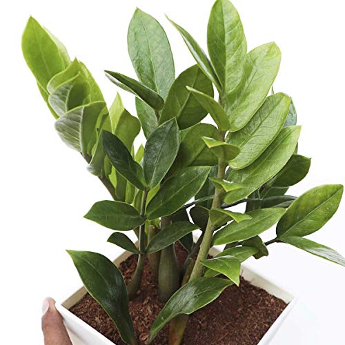 Buy Ugaoo ZZ Plant, Zamia Air Purifer Plant With Pot (Zamioculcas ...
