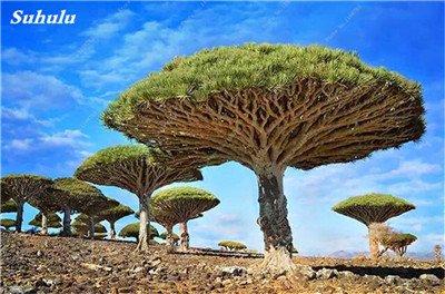 Dracaena arbre Graines, Arbre de sang (Dracaena draco), Graines rares Showy géant Fleur de cerisier Bonsai pot plantes de jardin 10 pièces 7