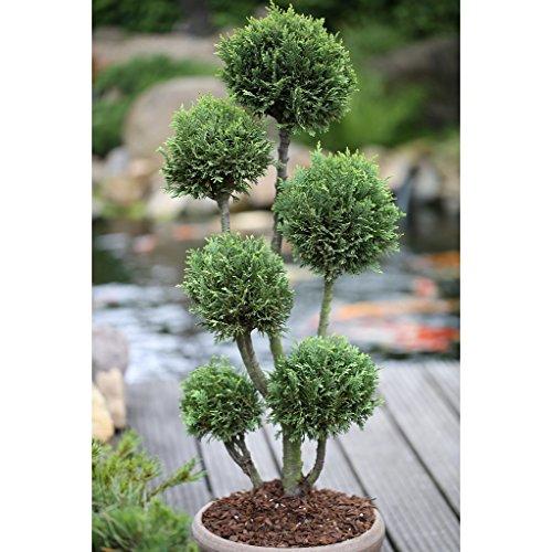 Dominik Blumen und Pflanzen Formgehölz, Kegelzypresse, Chamaecyparis lawsoniana Elwoodii Pon-Pon, 5 Liter Topf, Höhe ca. 80cm, 5-8 Triebe, immergrün, winterhart