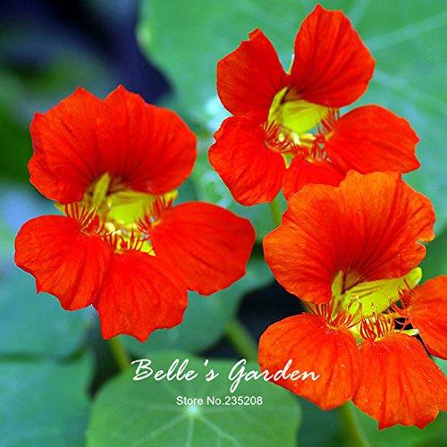 Variétés mixtes capucine Graines Capucine Tropaeolum Majus Graines de fleurs Bonsai Plante en pot bricolage jardin 13