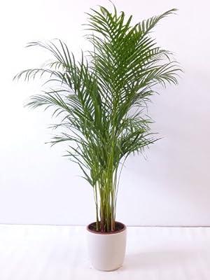 """Goldfruchtpalme 140 cm Chrysalidocarpus lutescens - """"Areca Palme"""" / Zimmerpalme von PalmenLager.de - Du und dein Garten"""