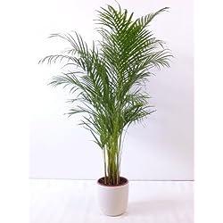 "Goldfruchtpalme 140 cm Chrysalidocarpus lutescens - ""Areca Palme"" / Zimmerpalme"