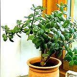 GREENINDIA Succulents Crassula Ovata Jade live Plants