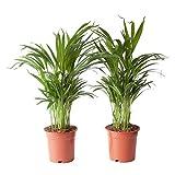 Choice of Green - Ensemble de 2 palmiers Areca Dypsis, autrement dit Goudpalm - Plante d'intérieur dans un Growerspot 17 cm - Hauteur ↕ 65 cm - Qualité hollandaise - Frais du cultivateur