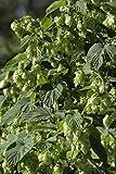 Luppolo - Luppolo Della Birra - 20 Seme