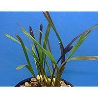 Myriophyllum Unterwasserpflanze Teichpflanzen Teichpflanze Schwimmpflanzen 1 Bund Tausendblatt