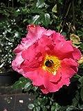 Kletterrose Bajazzo® - Rosa Bajazzo® - orange-rosa - Kordes-Rose - ADR-Rose