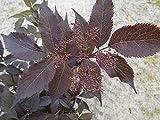 Baumschule Anding Holunder - Black Beauty - -R- Sambucus nigra - Black Beauty - -R-