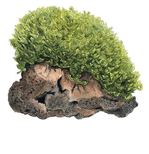 Tropica Monosolenium tenerum liverwort 1-2-Grow Tissue Culture In Vitro Live Aquarium Plant Shrimp Safe & Snail Free 2