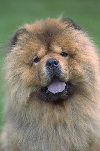 574038-chow-dog-a4-photo-poster-print-10x8