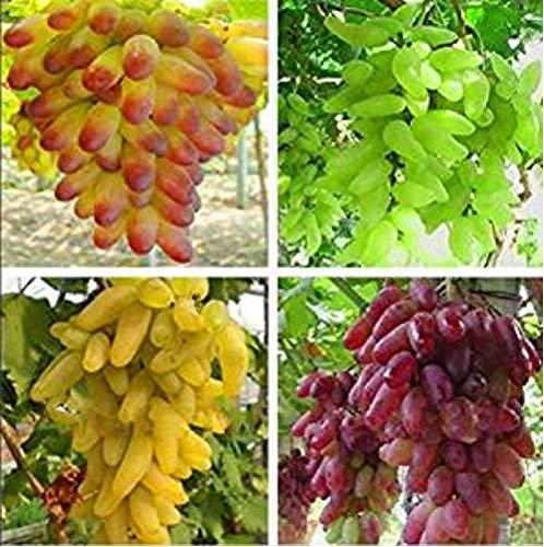 Hemore Plantes Senior Cour, Délicieuses Graines De Fruits, Or Finger 100pcs Graines De Raisin