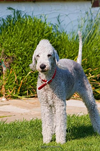Cutest Bedlington Terrier Standing on Heathland in Heather Dog Journal: 150 Page Lined Notebook/Diary